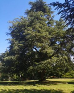 The Cedar of Lebanon